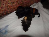 baby guinea pigs being reserved now ready in 6 weeks