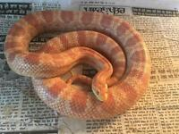 Corn snake for sale with 2x2ft viv
