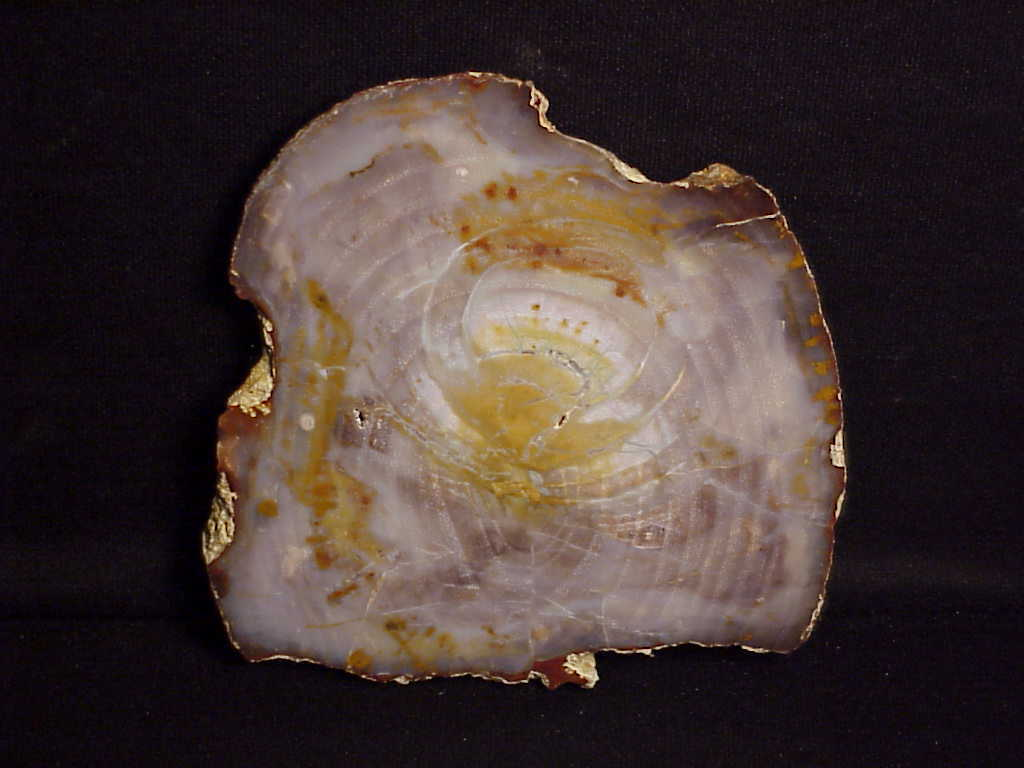 """~RW~~ RARE """"PETRIFIED WOOD ROUND"""" from GRASSY MT. ~~ SALE!!! SALE!!! SALE!!!"""