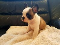 Frenchbull dogs