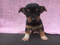 Chihuahua x jack Russell puppies