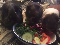3 Guinea Pigs for sale including hutch, pet house & accessories £130ono