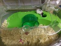 Russian Dwarf Hamster, cage and accessories