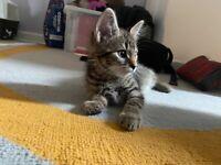 Grey tabby kitten; 8 weeks old