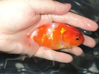 Beautiful Fancy Goldfish!