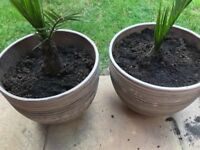 2 x Ceramic plant pots (B&Q) with palm trees