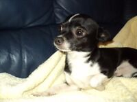 male chihuahua puppy aged 9 months kc registered