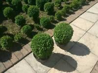 "Pair of box ball plants 30cm (12"") high"