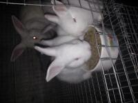 Purebred newzealand white and Californian bunnies for sale.