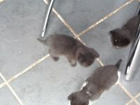 3 LOVELY LITTLE KITTENS LEFT FOR SALE 10 WEEKS OLD READY FOR NEW FOREVER HOMES MUM CAN BE SEEN