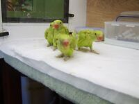 Indian Ringnecks ( Babies - Green )