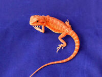 Bearded dragon Leatherback sandfire hypo trans het witblits