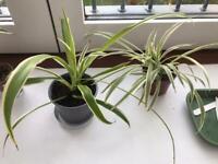 Spider plants £1