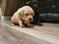 Labrador puppies looking for their forever loving homes.
