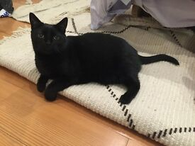 Fun, cuddly 4 year old female black cat, looking for a loving home with garden