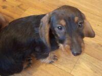 miniature wire hair dachshunds