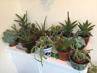 Various house garden plants aloe Vera cactus ivy plant