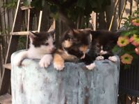 Mixed torti white black maine coon black white kittens ready now