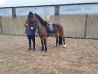 13.3 bay mare for sale