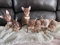 KC Reg Gorgeous Chihuahua Puppies 5 Generations Certificates READY NOW