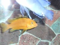cichlids for sale yellow labs and yellow finned acei £2.00 each
