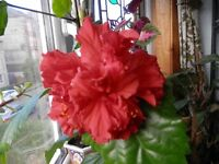 Large Marure Hibiscus house plant Chinese Rose