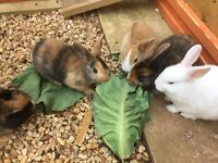 2x Rabbits Free to caring home 7-8wks old