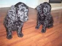 STUNNING SPROODLE PUPPIES READY FROM 28th JUNE