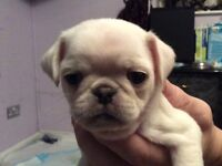 White K.C registered pug puppies
