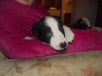 Beautiful Border Collie Puppies for Sale boys only