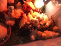 Chicks (chickens, poultry, hens, roosters)