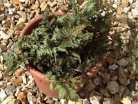 For sale garden fern plant £2