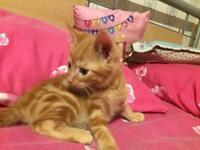 Cute Full Ginger Bengal Kitten For Rehoming