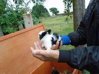 lionhead bunnys for sale