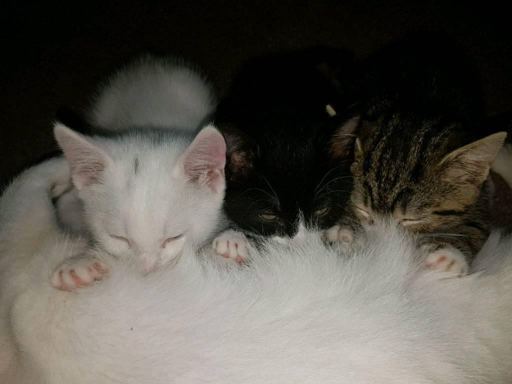 Adorable lovely kitten for sale