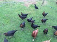 Genuine Black Rock hens pol for sale as I'm getting a tad too many eggs only £12 each