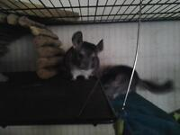 BABY MALE CHINCHILLAS-2 left ON SALE UNTIL EASTER:$80.00!