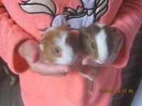 babys males guinea pigs