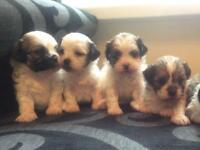 Shihpoo puppy's for sale
