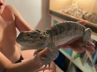 3 year old bearded dragon lizard