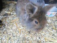 baby bunnie lionhead