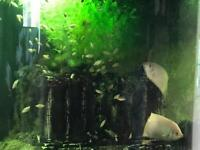 Tropical fish kissing Gouramis juveniles