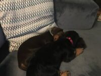 2 Miniture Dachshund Pups for Sale (1 year old) £1400, 1 male & 1 female