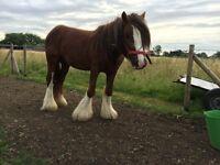 Cob / Heavy pony 12.2h Dillon
