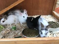 Baby full breed lionhead rabbits