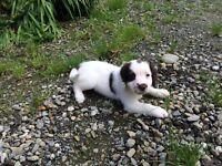 Excellent Springer Spaniel Pups