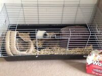 Loving Home For Pair of Guinea Pigs Needed