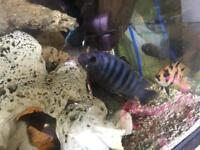African cichlids t