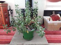 Large mature Money tree plant