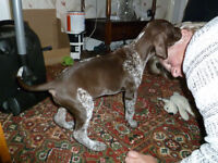 Only 1 bitch remaining, excellent pedigree, KC reg GSP pup German Shorthaired Pointer puppy